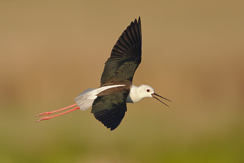 "Black-winged Stilt, Common Stilt, or Pied Stilt, Himantopus himantopus at Marievale Nature Reserve, Gauteng, South Africa. • <a style=""font-size:0.8em;"" href=""http://www.flickr.com/photos/93242958@N00/44944411574/"" target=""_blank"">View on Flickr</a>"