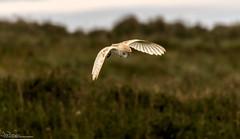 Barn Owl Hunting The Dunes (Steve (Hooky) Waddingham) Tags: stevenwaddinghamphotography animal countryside nature northumberland voles mice wild wildlife prey hunting dawn