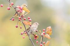 ''Visite!'' Tarin des pins-Pine siskin (pascaleforest) Tags: oiseau bird animal passion nikon nature wild wildlife faune québec canada automne