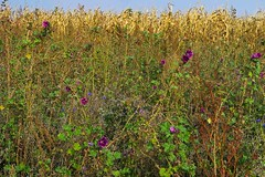 Wildflower strip - Blühstreifen (barbmz) Tags: wildflower blühstreifen malve mallow hollyhock corn maize mais blumen feld field ecofriendly