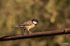 Carbonero (morlokiano) Tags: fauna aves naturaleza birds pajaros charcas laguna