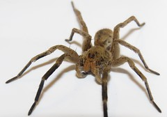 Burrowing wolf spider (Bug Eric) Tags: animals wildlife nature outdoors arachnids arachtober spiders wolfspiders lycosidae araneae male coloradosprings colorado usa burrowingwolfspider geolycosamissouriensis northamerica october42018
