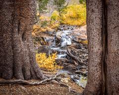 Creek in Color (-Dagmar-) Tags: bridgeport conwaysummit easternsierra2018 leevining fallcolor virginialakes creek trees