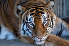 Sawa ♀ -  Beauty (Belteshazzar (AKA Harimau Kayu)) Tags: tiger bengaltiger femaletiger beauty charm charming beautiful lovely cute gorgeous bigcat asiancat feline animal mammal carnvore predator beast kaminezoo hitachi ibaragi japan tigress