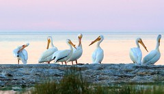 Seven Pelicans (imageClear) Tags: pelican seven nature wildlife beauty color northpoint sheboygan wisconsin aperture nikon d500 80400mm imageclear flickr photostream