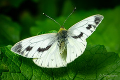 Large White (JKmedia) Tags: large white butterfly nature wildlife sonyrx10iii