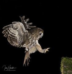Tawny Owl (Ian howells wildlife photography) Tags: ianhowells ianhowellswildlifephotography inflight nature naturephotography nationalgeographic night canon canonuk springwatch wildlife wildlifephotography wales wild wildbird wildbirds tawnyowl tawny owl