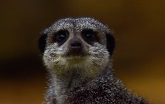 Meerkat (Bury Gardener) Tags: banham banhamzoo zoo animal mammals wildlife nikond7200 nikon norfolk england eastanglia uk 2018