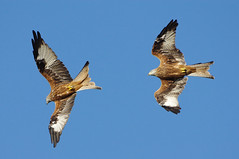 K32P8820c Red Kites (chasing), Stilton, September 2018 (bobchappell55) Tags: bird wild wildlife nature stilton cambridgeshire redkite milvusmilvus