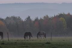 Morning Fog (PinoyFri) Tags: morningfog morgennebel niebladelamañana brouillarddumatin kabutpagi sabuntaggabon nebbiamattutina 朝霧 아침안개 ochtendmist pferde horses paarden chevaux cavalli ngựa paddock koppel kuralngkabayo horsepaddock enclospourchevaux paysage dusk