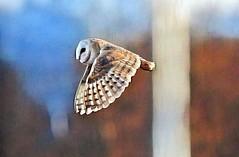 Barn Owl (merseymouse) Tags: barnowl birds owls owlshunting birdsofprey raptors