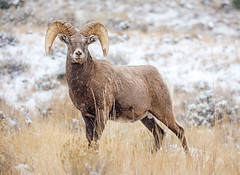 Ram Tough...{Explored} (DTT67) Tags: ram mountians nature animal snow 5dmkiv canon wyoming bighornsheep mammal wildlife