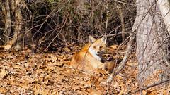 Fox in the sun (ramcewan) Tags: 50200mm zuiko em1 nature wild fox canidae