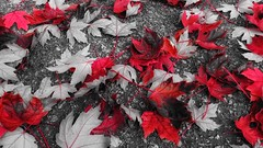 All fall down (Edna Winti) Tags: ednawinti vancouver westend maple autumn fall leaves red 4152 potw2018