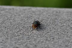 Fly (wadehampton23) Tags: fly closeup