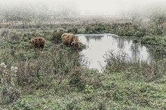 Foggy Morning (enneafive) Tags: highlandcattle morning mist fog water fujifilm xt2 meadow broekbeemd wellen limburg belgium animals nature green grass