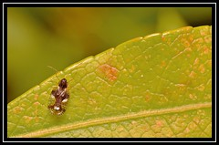 Andromeda/Pieris Lacebug (Stephanitis takeyai) ??? (NikonShutterBug1) Tags: nikond7100 tokina100mm insect entomology nature wildlife bokeh spe smartphotoeditor closeup macro fauna bug lacebug stephanitistakeyai andromedalacebug