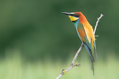 bee eater (leonardo manetti) Tags: uccello bird nature sunset red winter colours naturephotography field natural nikkor countryside albero wwod woodland bee eater legno nikon d850 cloud cloudy clouds