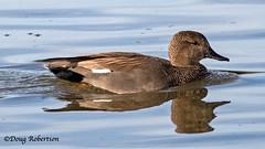 Gadwall (M) (DougRobertson) Tags: weymouth radipolelake rspb wildlife water waterfowl dorset duck nature fauna animal coth5