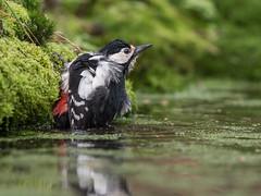 Gr B Specht-8739 (lucvereecken) Tags: glenn kalmthout bosvogels oktober