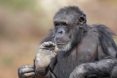 376A0586 (bon97900) Tags: 2018 adelaidehills adelaidezoo animals chimpanseze monartozoo monkeys southaustralia