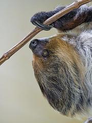 Sloth profile (Tambako the Jaguar) Tags: sloth female portrait face profile hanging branch upsidedown walter zoo gossau switzerland nikon d5