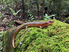 Chinese Skink (Plestiodon chinensis) (cowyeow) Tags: lizard reptile reptiles herping herp herpetology china chinese chinareptile asia asian herps chinaherpetology mountain hunan mountains nature wildlife pleistiodon skink composition chineseskink plestiodonchinensis plestiodon chinensis moss