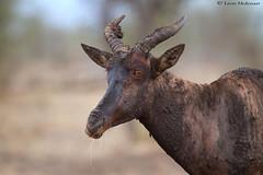Muddy Tsessebi (leendert3) Tags: leonmolenaar southafrica krugernationalpark wildlife nature mammals tsessebeantelope naturethroughthelens ngc npc coth coth5