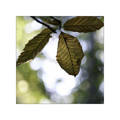Autumn Leaf + Fotodiox Adapter (FotodioxPro) Tags: autumnleaf autumn shallowdof shallowdepthoffield macro macrophotography closeup fujifilmxt1 fujifilm leaf chesnut tamronsp90mmf25 tamron fotodiox lensadapter fotodioxpro robintaylor bokeh nikontofujix macrolens