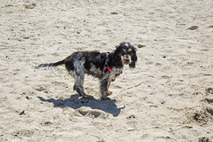 Dogfest (jimj0will) Tags: bertie lily dogs cockerspaniel springer playing beach