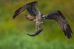 Osprey, Mandion haliaetus (Mustafa Kasapoglu) Tags: osprey fisheagle kuusamo eagle balıkkartalı birds birdphotography bird birdwatching birding mandionhaliaetus
