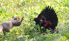 Red-winged Blackbird Death Match 17 (Kaptured by Kala) Tags: agelaiusphoeniceus redwingedblackbird blackbird maleredwingedblackbird whiterocklake dallastexas sunsetbay loud noisy closeup battle fighting territorial aggressive