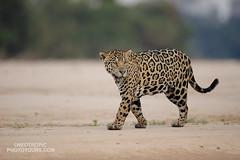 Jaguar (www.NeotropicPhotoTours.com) Tags: panteraonca jaguar juancarlosvindas pantanal brazil neotropicphototours animalstare marking pelt roaming riverside