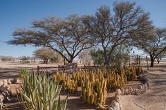 Arbres & cactées ( Philippe L PhotoGraphy ) Tags: afrique namibie solitaire khomasregion na afric namibia désert etosha fauve dunesoiseaux rapace philippelphotography