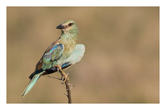 2018 02 02_European Roller-2 (Jonnersace) Tags: africa africanbirds coraciasgarrulus europeanroller europesetroupant bird wild bright nature colours blue catchlight canon canon7dii canon100400ii krugernationalpark southafrica green tree thorns beak eye plumage