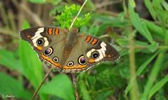 Buckeye Butterfly (Suzanham) Tags: macro butterfly buckeye insect mississippi bug