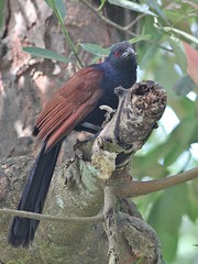 Greater Coucal (Crow-Pheasant) (SivamDesign) Tags: canon eos 550d rebel t2i kiss x4 300mm tele canonef300mmf4lisusm bird fauna backyard coucal greatercoucal crowpheasant centropussinensis centropussinensisparroti
