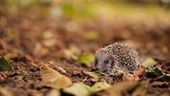 Igel :-) (St1908) Tags: fuji fujifilm xt2 xf56 56mm 12 igel tier animal herbst autumn blätter leaves wildtier wildlife bokeh farben colors