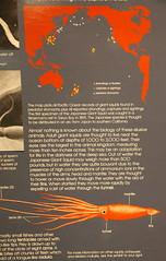 Japanese Giant Squid Information Board at the Museum of Natural History, Santa Barbara California (Trail Trekker) Tags: santabarbaramuseumofnaturalhistory japanesegiantsquid giantsquid santabarbaracalifornia