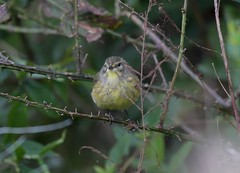 Palm Warbler with feathers fluffed (adirondack_native) Tags: palm warbler tree feathers yellow brown standing bird wings