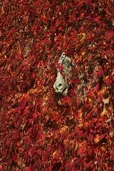 Jesień pełną paszczą (jacekbia) Tags: europa polska poland podlasie choroszcz stajnia koń horse pnącze czerwony red liście jesień autumn leaves głowa head canon 1100d