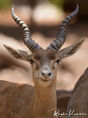 Deer Safari, Anna Zoological Park, India (rvk82) Tags: 2018 animals annazoologicalpark chennai deer india march march2018 nikkor200500mm nikon nikond850 rvk rvkphotography raghukumar raghukumarphotography southindia tamilnadu vandalur vandalurzoo wildlife rvkonlinecom rvkphotographycom peerakankaranai in