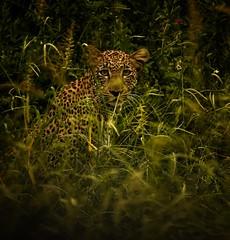 Ethiopian Leopard (Rod Waddington) Tags: africa african afrique afrika äthiopien ethiopia ethiopian ethiopie etiopian mago national park wild animal wildlife nature leopard trees grass outdoor portrait