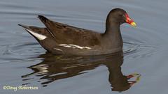 Moorhen (DougRobertson) Tags: radipolelake rspb weymouth water waterfowl wildlife animal nature fauna bird birdwatcher coth coth5