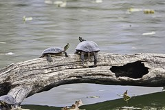 Where Are You Going? (chauvin.bill) Tags: paintedturtles strickerspond tamron