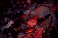 Autumn (Devin Lyall) Tags: herbst fall red blood rot blätter blatt laub wald tree wood forest natur nature autumn nikon wallpapers