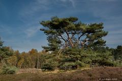 Hij houdt alles in de gaten..... (Jan Bogers) Tags: kortenhoeff janbogers d800 denneboom arbre de pin pine tree solitaire solitary solitair brabant westbrabant nederland paysbas netherlands