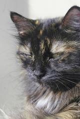 DSC05153 (coonfide) Tags: siberea cats macro couple portrait cute photoshoot nature amateur mature