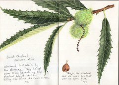 Sweet Chestnut (Hornbeam Arts) Tags: tree sketch leaves watercolour castaneasativa