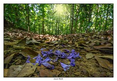 Pluie de fleurs dans la forêt - 1 copie (Laurent Asselin) Tags: fleurs flowers arbres trees forêt forest guyane amazonie